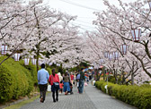 Cherry Blossom Viewing (Senkoji Temple & Park, Innoshima Park, Kosanji Temple)